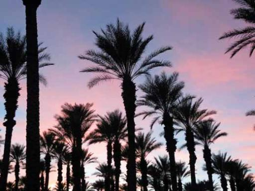 All Of Our Sunsets Are Through The Palm Trees