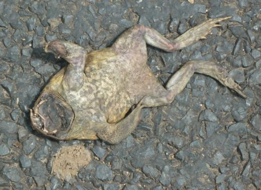 Many Squashed Cane Toads On The Road New Journeys Now Begin