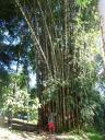 Super size bamboo