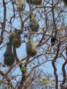 Weaver Birds