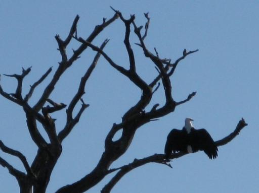 Fish eagle over Chobe