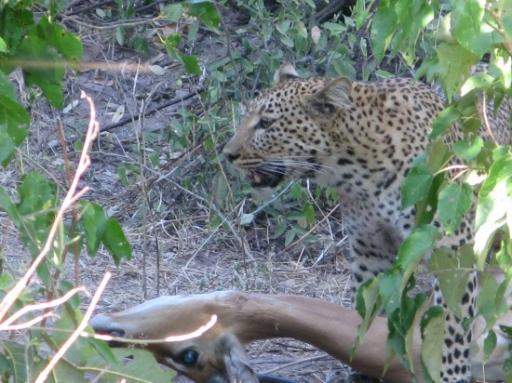 A leopard kill in Chobe National Park