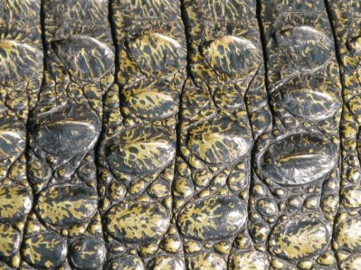 Extreme close up to a croc