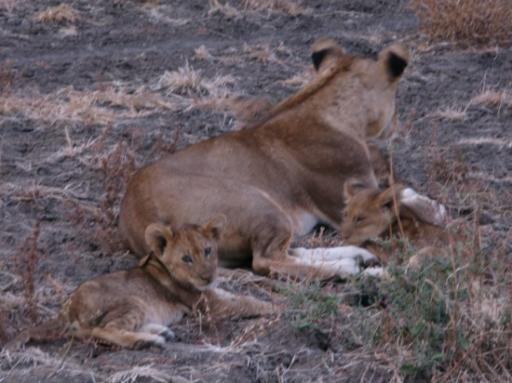 Mummy lion and babies