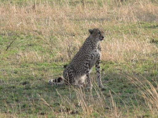 Cheetahs of Serengeti