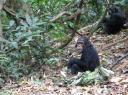 Thomson the Chimp