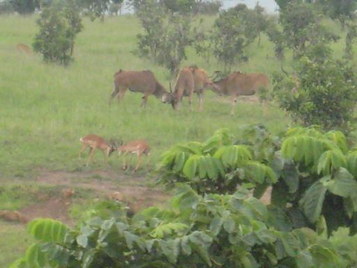 Fighting Eland + Impala