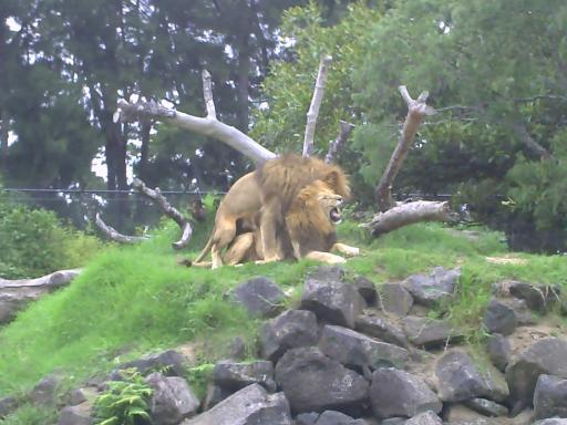 schwule löwen