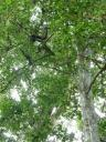 Howler monkey in the tree