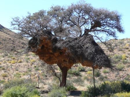 This weaver nest looks like it's from Dr Seuss!