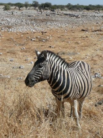 Curious, yet often skittish, zebra