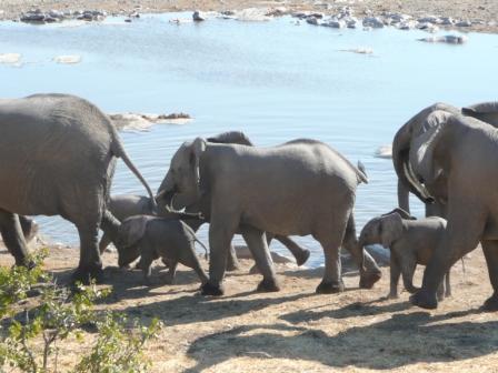 Baby elelphant walk