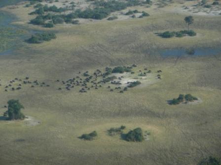 Wildebeest in the delta