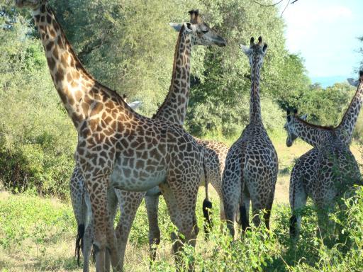 Nieuwsgierige giraffen