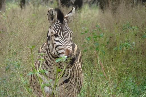 Ik ben een zebra... en ik zie jou...!