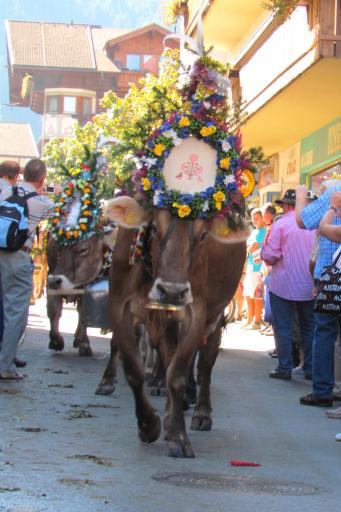 cow Almabtrieb, Mayrhofen