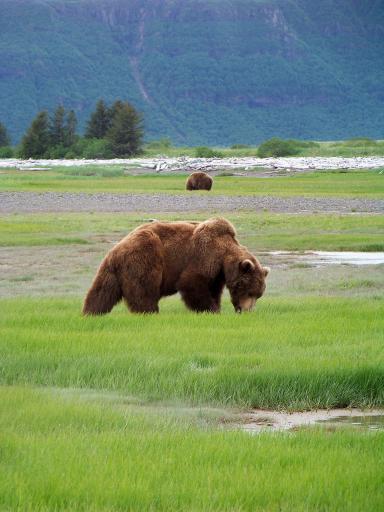 grizzly on Katmai.jpg