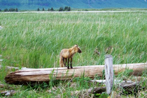 red fox on Katmai.jpg