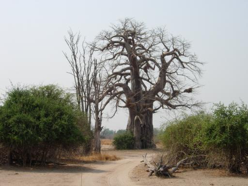 1000 jaar oude baobab boom
