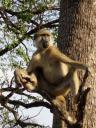 Baboon aap
