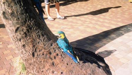 29-Parrots Waikiki