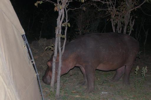 hippo comes to supper