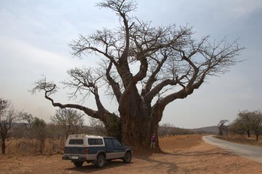 huge baobab