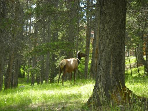 Elmer the Elk