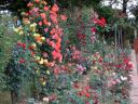 Roses, roses ...  everywhere