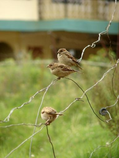 Ooty Trip-I 145- sparrows  line up on  old wire fe