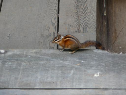 Chipmunk in Muir Woods - 3