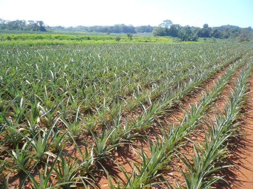 Ananasplantage Am 233 Rica Del Sur