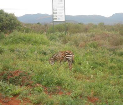 Zebra along the road in Tsavo