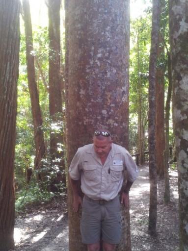 Kauri Tree Fraser Island  original