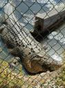Snoozing female croc