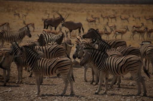 Zebra in Etosha
