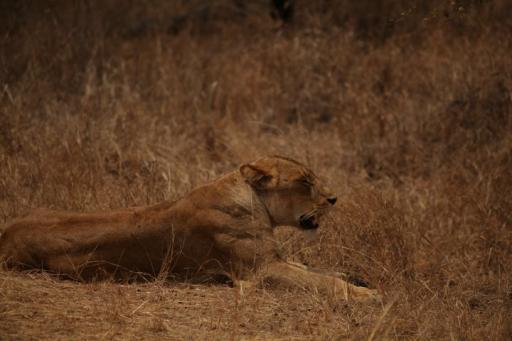 Lioness at Kruger