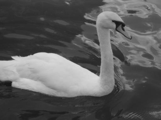 Swan at Winsdor