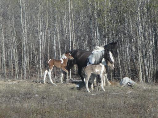 DSC00695 Wild horses outside Whitehorse